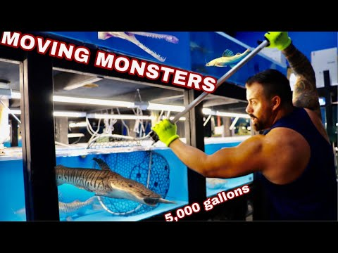 MOVING MONSTER FISH Back Into The 5,000 Gallon POND Due To The CORONA VIRUS, SHARK TANK Postponed