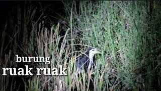 Download Video Berburu burung ruak ruak di malam hari... MP3 3GP MP4