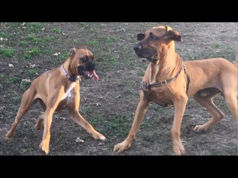 A Boxer Bounces Away From A Frisky Bloodhound