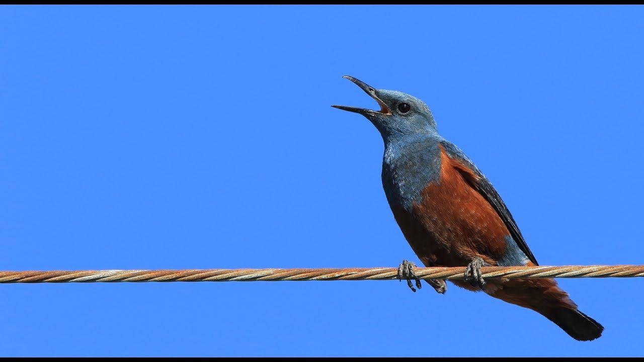 ヒヨドリ の 鳴き声 ヒヨドリ:日本ではどこでも見られる 野鳥写真図鑑