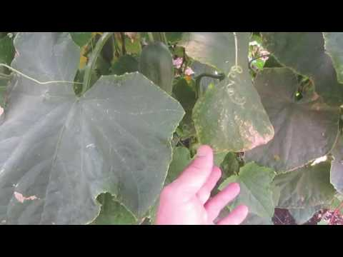 POTASSIUM DEFICIENCY IN PLANTS: Symptoms & Treatment