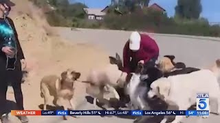 Dog walker under fire after getting caught on video slamming puppy at Runyon Canyon