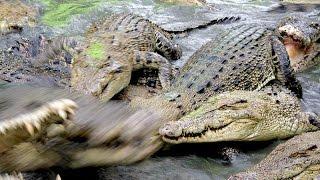 Indonesia, part 1 - Feeding crocodiles