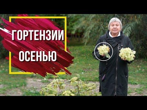 Вопрос: Когда следует укрывать гортензии осенью 2020 на Урале?