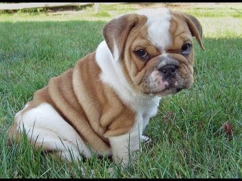 bulldog puppies florida olde english bulldog puppies dogs for sale in 5826
