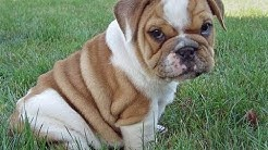 Olde English Bulldog, Puppies, Dogs, For Sale, In Jacksonville, Florida, FL, 19Breeders, Orlando