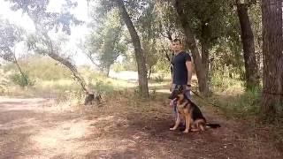 Как научить собаку защищать хозяина.(Немецкая овчарка).