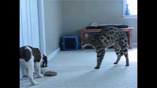 F1 Savannah Cat meets Puppy - www.F1SavannahCats.com