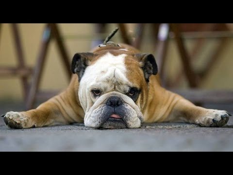 Bulldog video 2017 (смешные бульдоги видео)