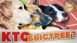 Кто быстрее? Лабрадор, овчарка или бордер колли? Соревнование собак на скорость.
