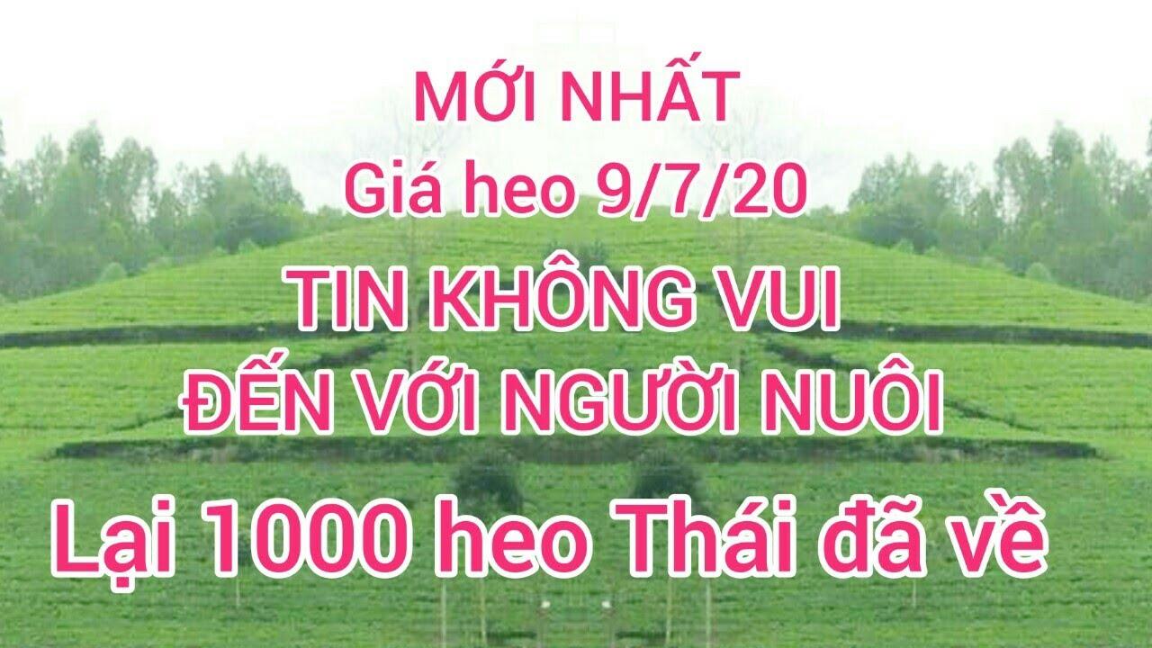 Giá heo ngày 9/7/20. giá heo Trung tăng cao   tin nóng đến người nuôi heo lại nhập thêm 1000 lợn