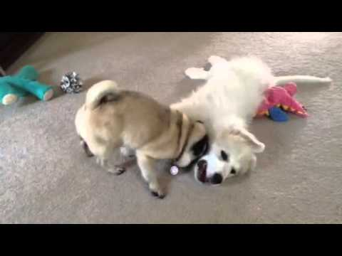 Snugglefight!!! Stella, the Pug vs. Remy, the Great Pyrenees puppy