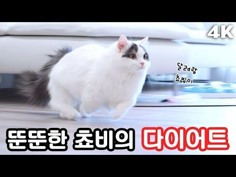 뚠뚠한 고양이의 다이어트! 😆 달려라 쵸비툐비 [4K]