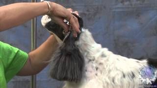 Grooming A Pet American Cocker In A Modified Show Trim