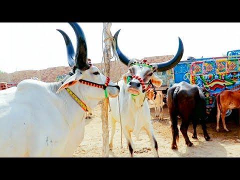 Beautiful Pure White Bulls In Dour Mandi Sindh|Dour Mandi Update|Cows