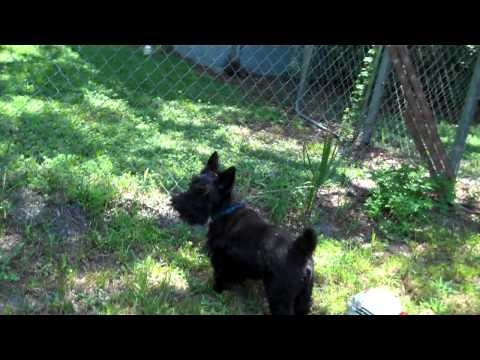 rocky-the-scottish-terrier-barking