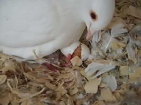 Pigeon Hatching Youtube