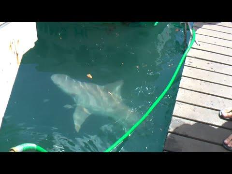 Feeding The Shark In Lahaina Hawaii.