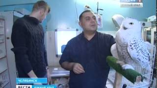 Полярная сова в Челябинске