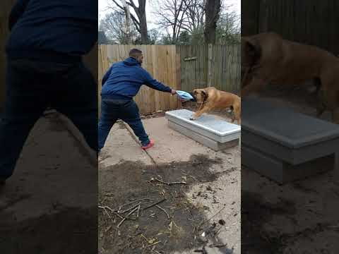 African mastiff doing protection training and building drive