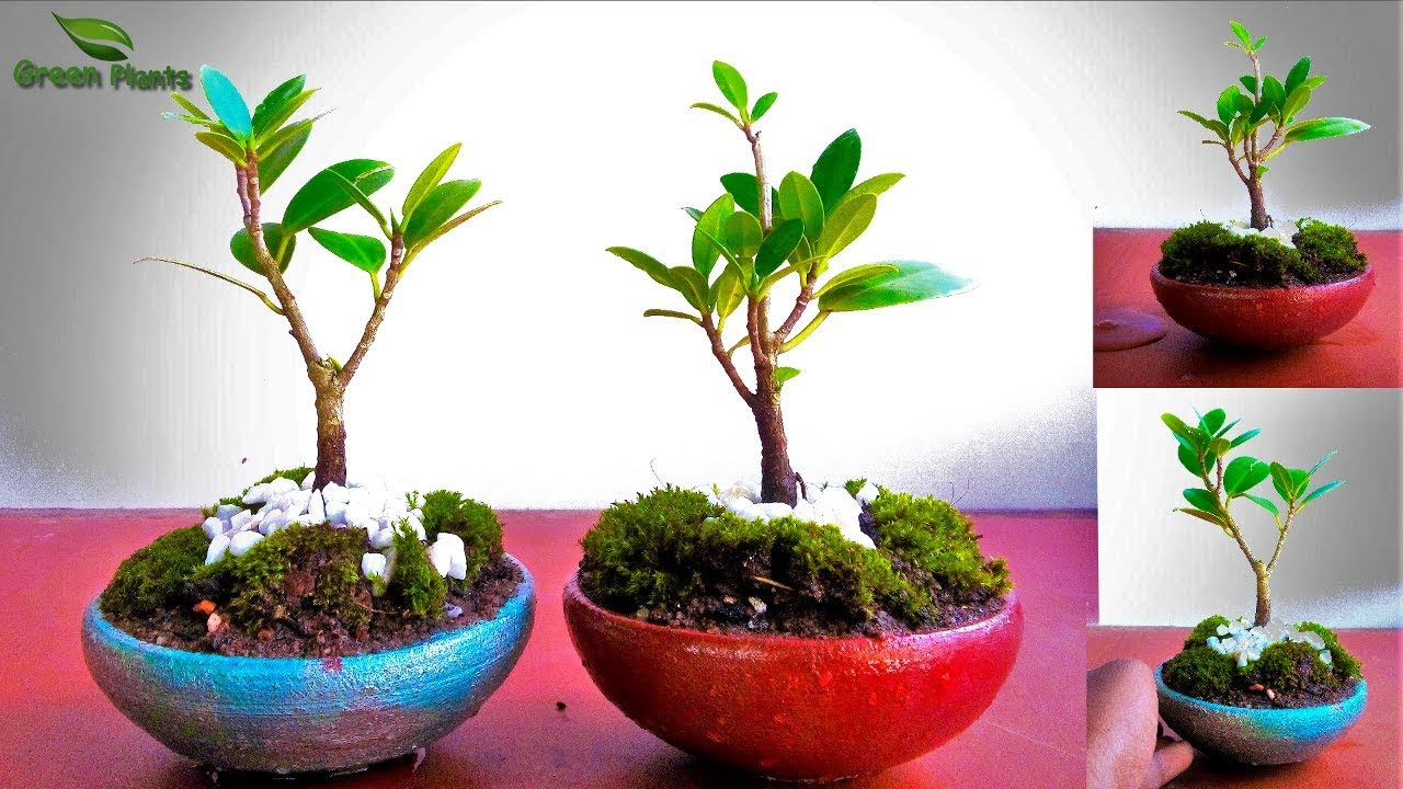 How Do I Take Care Of A Bonsai Tree How To Care For Bonsai Money Tree