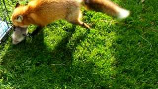 Foxy fox meets the new kits