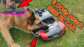 Pack Of Dogs Attack 800 RC Car 50mph Chase