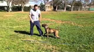 Boca Boxer X Pit Bull