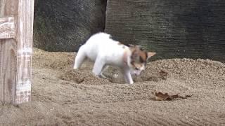 Balinese Short Tail Cats