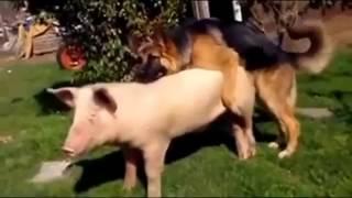 Отодрал свинью