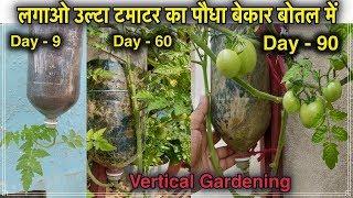 लगाओ उल्टा टमाटर का पौधा बेकार बोतल में ll Vertical gardening ll How To Grow Tomato Plant In Bottle