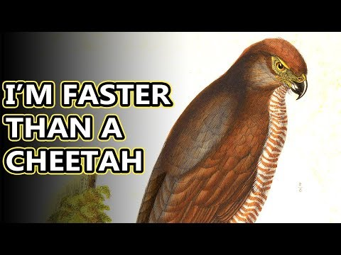 African Goshawk Facts: They Have Fancy Headgear | Animal Fact Files