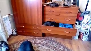 Доберман концерт для кота и кошки