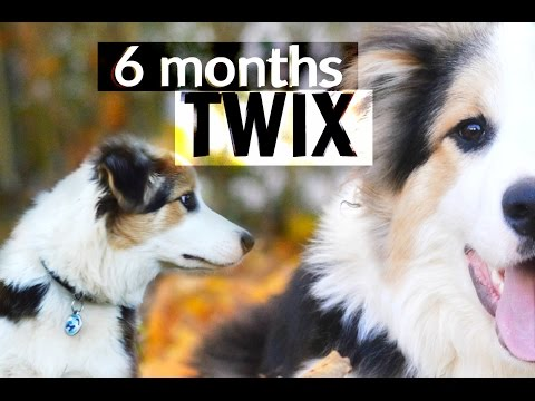 TWIX border collie - 6 months