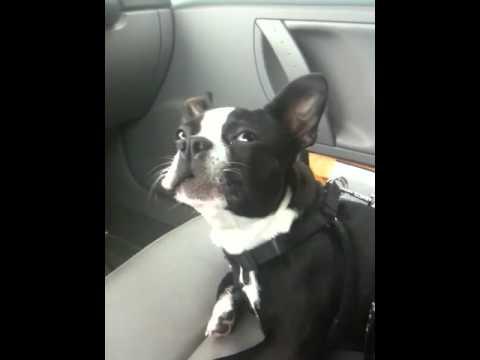 Boston Terrier Talks A LOT!!!!