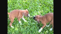 Florida Boxer Rescue - What we are about