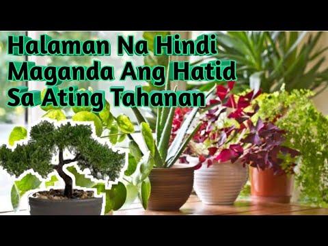 Mga Halaman Na Magdadala Ng Badluck Sa Bahay |As Per Vastu | Meron Kaba Ng Mga Ito..