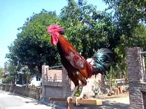 73 Gambar Ayam Ketawa Paling Bagus