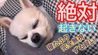 飼い主なんてチョロいぜ👐ずる賢いチワワのくーちゃん🐶 thumbnail