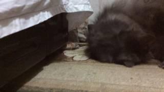 Кошка капает капли в нос
