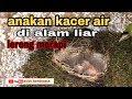 Burung Meniting Kacer Air Akhirnya Menetas Di Alam Liarnya  Mp3 - Mp4 Download
