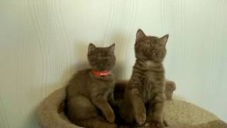 Итан и Элвис, британские короткошерстные котята. Продажа.