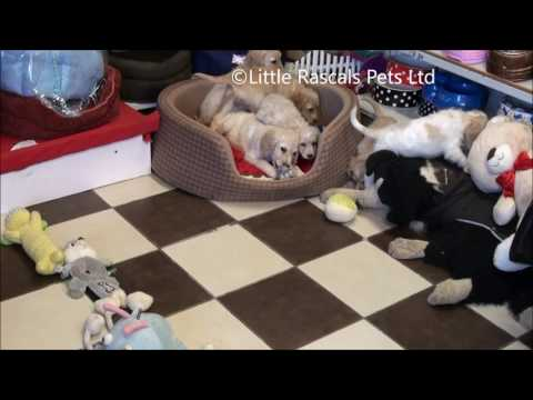 Little Rascals Uk breeders New litter of Golden Cockapoo Puppies
