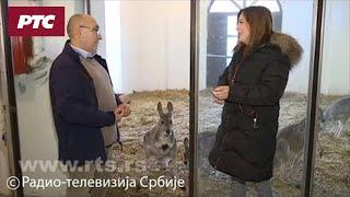 Kengurić u jednoj od prvih šetnji pred kamerama RTS-a