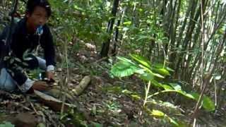 Kicau Mania - AKSI Memikat Murai Batu Di Hutan