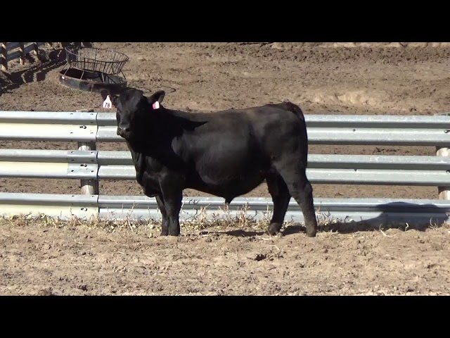Connealy Angus Lot 78