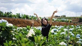 CÁNH ĐỒNG HOA CẨM TÚ CẦU ĐÀ LẠT (Dalat hydrangea flower field)