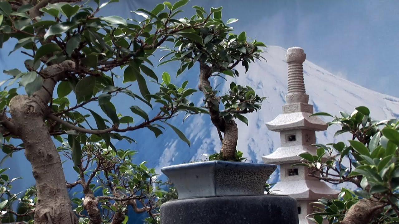 bonsai schneiden und pflegen standort zeitpunkt schnitt und d ngung. Black Bedroom Furniture Sets. Home Design Ideas
