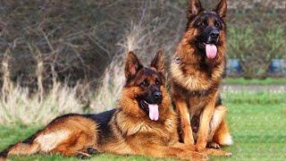 Most Intelligent Dog German Shepherd    Better Than Humans. Dangerous ?