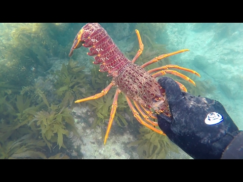 Free Diving for Crayfish | East Coast NZ